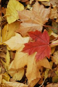 (7) Maple Leaf at High Park in Toronto - by LML